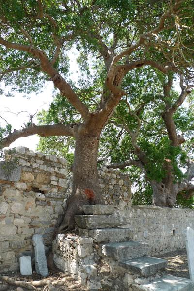 22. Külliye avlusundaki menengiç (Pistacia terebinthus) ağacı (© Nezih Başgelen)