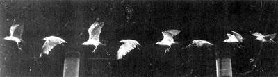 """<p><strong>2. </strong>Bir martının """"kronofotoğrafik""""  uçuşunun peliküle basımı<br />Kaynak: Marey, 1890, <em>Le vol des oiseaux</em><strong></strong></p>"""
