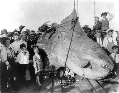 <p>1910'da Santa  Catalina Adası'nda (Doğu Afrika) Yakalanan Güneş Balığı<br />Kaynak: http://commons.wikimedia.org/wiki/File:Enormous_Sunfish.jpg [Erişim: 14.04.2014]