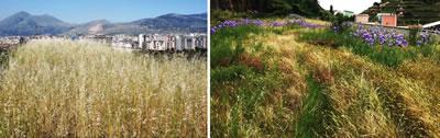 <p><strong>4.</strong> Dağdan getirilen toprak ile oluşturulan yeşil  çatı sonbahar ve ilkbahar görüntüsü, sulama yapılmıyor, senede 1 kez bakım  yapılıyor.<br />  Kaynak: urbangreeninfrastructure.org/wp-content/uploads/2015/11/EUGIC_Chiara_Catalano.pdf  [Erişim: 01.12.2015]</p>