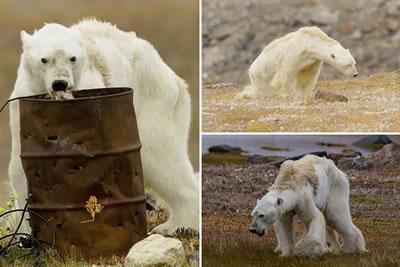 <p><strong>5. </strong>Küresel ısınmaya  bağlı olarak su kütlelerinin azalması, kutup ayılarının ana besin kaynağı olan  fok nüfusunun da azalmasına; böylece kutup ayıların besin bulmada güçlük  çekmesine neden oluyor.<br />Kaynak: Caters Haber Ajansı
